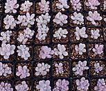아메치스 3000원*20EA(1세트)|Graptopetalum amethystinum