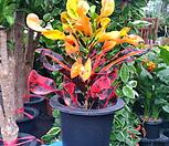 밤비크로톤  크로톤  아이스톤|Codiaeum Variegatum Blume Var Hookerianum