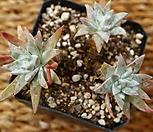 화이트그리니4두 0718-1652|Dudleya White gnoma(White greenii / White sprite)