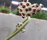 공중식물 꽃대2-4개하트호야|Hoya carnosa