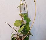 하트호야(꽃이핀 넝쿨 하트오야)|Hoya carnosa