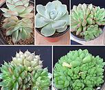 푸미라,아이시그린,핑클루비,옵투사,문가드니스 세트 08B0718|Echeveria Ice green
