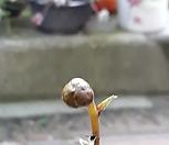몽우리달린 연화승마(린게이쇼우마)|
