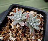 화이트그리니 2두 7-516|Dudleya White gnoma(White greenii / White sprite)