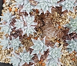 화이트그리니자연군생|Dudleya White gnoma(White greenii / White sprite)
