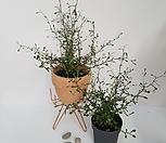 마오리 코로키아,뉴질랜드 야생화,인테리어식물|