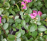외목대 미니목백일홍(핑크)|