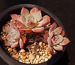 라우렌시스10|Echeveria Laulensis