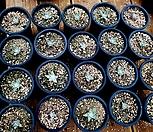 화이트그리니 20두(뽑아서 배송)|Dudleya White gnoma(White greenii / White sprite)