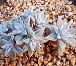 화이트그리니1(7두한몸묵은둥이) X072101|Dudleya White gnoma(White greenii / White sprite)