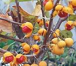 열매 다글다글 노박덩굴|