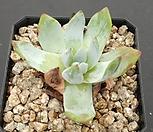 블러쳐스(뿌리무) Dudleya farinosa