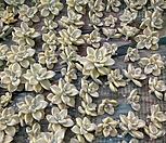 살구미인금100개(실뿌리가나오고있어요)|GraptoveriaTitubans