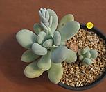 성미인3186|Pachyphytum oviferum