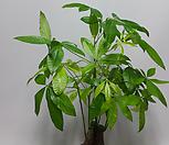 파키라 삼둥이(특L품)3촉 /공기정화식물/관엽식물/공기중 습도 가습효과식물/모종|
