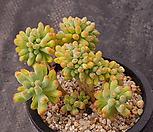 을려심철화48|sedum pachyphyllum