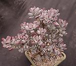 방울복랑ㅋ특대품8|Cotyledon orbiculata cv