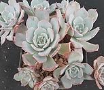아우렌시스4234|Echeveria Laulensis