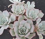 아우렌시스4235|Echeveria Laulensis
