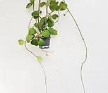 꽃피는하트호야(최저가도전)호야호야록타오호야하와이관엽식물공기정화식물공룡꽃식물원|Hoya carnosa