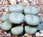 Conophytum gratum군생|