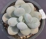 문스톤 5713|Pachyphytum Oviferum Moon Stone