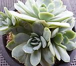 라즈베리아이스(4두묵은한몸) 07271|Echeveria Rasberry Ice