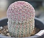 자태양 5743|Echinocereus rigidissimus Purpleus