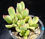웅동자금20|Cotyledon tomentosa ssptomentosa