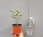 황금넝쿨/야생화/공기정화식물공룡꽃식물원공기정화식물공중식물관엽식물야생화다육이선인장다육식물화분|
