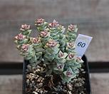 희성금60|Crassula Rupestris variegata
