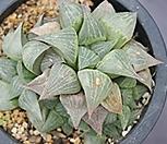 하월시아 군생 5750|haworthia