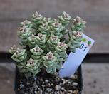 희성금61|Crassula Rupestris variegata