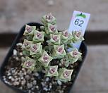 희성금62|Crassula Rupestris variegata