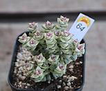 희성금64|Crassula Rupestris variegata
