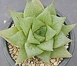 하월시아 SP 5759|haworthia