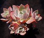 화이트로즈자연군생3|Echeveria white rose