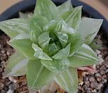 경화금 7107-1035|Haworthia cymbiformis f. variegata