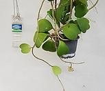 하트호야공룡꽃식물원공기정화식물공중식물관엽식물야생화다육이선인장다육식물화분|Hoya carnosa