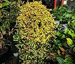 황금마삭/마삭/좀마삭황제마삭/공룡꽃식물원공기정화식물공중식물관엽식물야생화다육이선인장다육식물화분|
