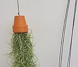 수염틸란드시아/토분수염틸란드시아/이오난사공룡꽃식물원공기정화식물공중식물관엽식물야생화다육이선인장다육식물화분|