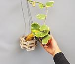하트호야/넝쿨호야공룡꽃식물원공기정화식물공중식물관엽식물야생화다육이선인장다육식물화분미세먼지제거|Hoya carnosa