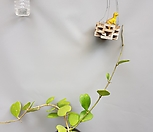하트호야/꽃피는호야공룡꽃식물원공기정화식물공중식물관엽식물야생화다육이선인장다육식물화분미세먼지제거|Hoya carnosa