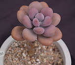 묵은아메치스|Graptopetalum amethystinum