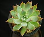 콜로라타브랜티(묵은중품)H3-22|Echeveria Colorata fma Brandtii