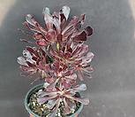 에오니움1(사이즈큼) Aeonium canariense