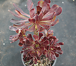 에오니움2이즈큼) Aeonium canariense