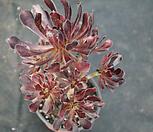 에오니움8(사이즈큼) Aeonium canariense