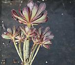 에오니움10(사이즈큼) Aeonium canariense