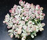 방울복랑금무지80|Cotyledon orbiculata cv variegated